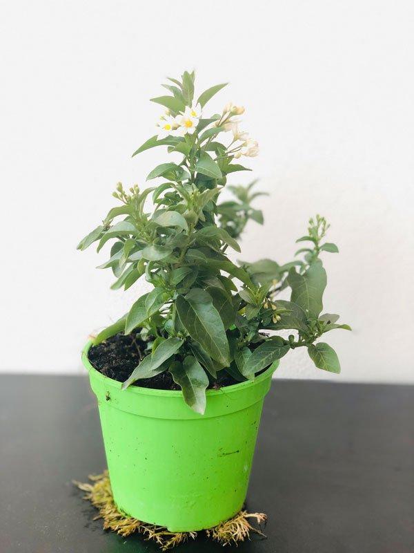 Solano Jasminoides